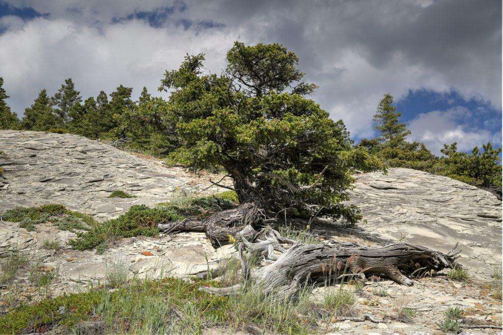 Sensitive Tree